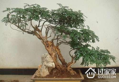 清香木养殖方法 清香木为什么老掉叶