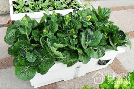 阳台种菜注意事项及适合品种