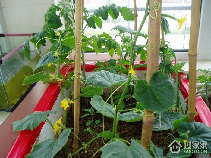 阳台种菜的条件是什么